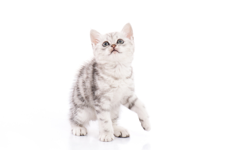 Cute American Shorthair kitten on white background isolated