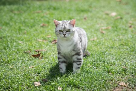 Cute Short Hair cat walking on green grass