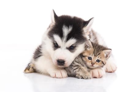 흰색 배경에 귀여운 새끼 고양이 껴 안고 귀여운 시베리안 거친 강아지 절연