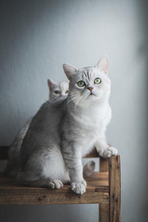 かわいいショートヘア猫座って、古い木製の棚で探して 写真素材 - 83616108