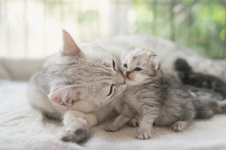 American shorthair cat kissing her kitten with love Stock Photo
