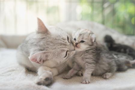 American shorthair cat kissing her kitten with love Foto de archivo