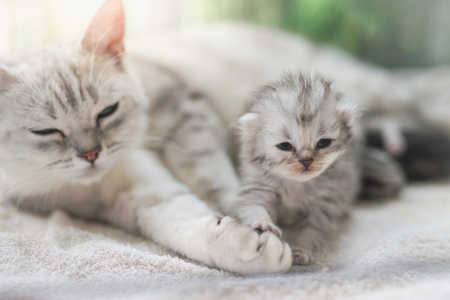 American shorthair cat hugging her kitten with love Stock Photo