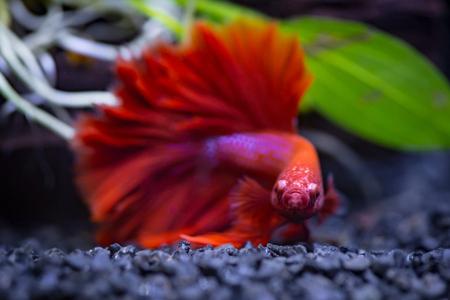 빨간색 반 달 가까이 샴 싸우는 생선 물고기 탱크에서 물고기