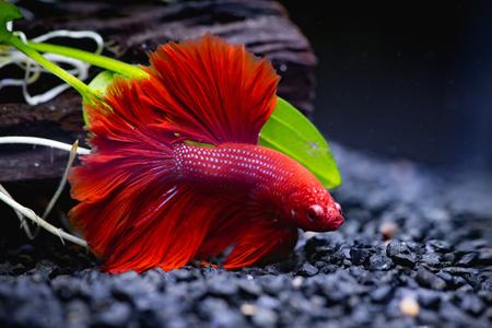 Cerca de peces luchadores siameses rojos en una pecera Foto de archivo - 87489740