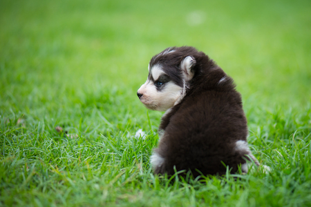 Cute siberian husky puppy sitting alone on grass Stock Photo