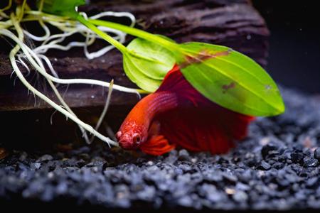 Cerca de peces luchadores siameses rojos en una pecera Foto de archivo - 87696546