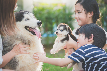 Asian family playing with siberian husky dog together Stock Photo
