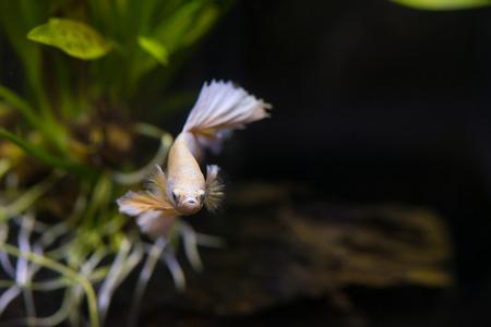 Close up of Gold half moon  Siamese fighting fish