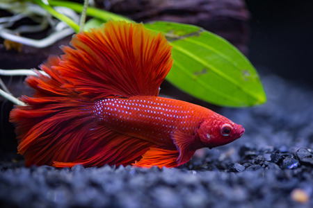 Close up of Red half moon  Siamese fighting fish in a fish tank