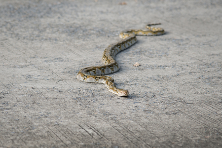 close up eyes: Close up of boa snake on concrete road