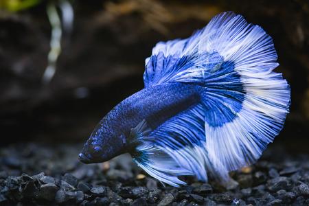 파란색 절반 달 가까이 샴 싸우는 생선 물고기 탱크에서 물고기 스톡 콘텐츠