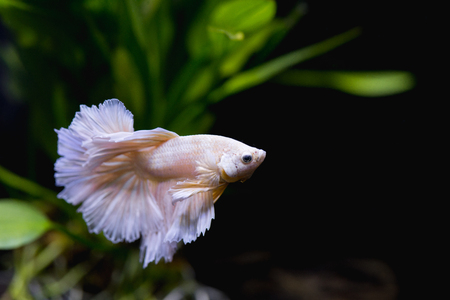 Close up of Gold half moon  Siamese fighting fish