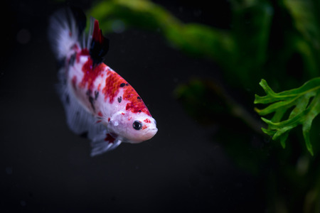 Close up of koi Siamese fighting fish in a fish tank Stock Photo