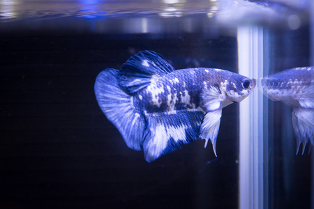 Close up of  Marble Siamese fighting fish in a fish tank
