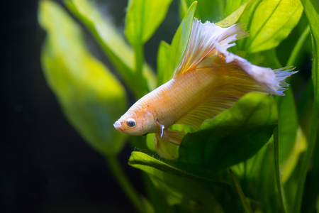 Close up of Gold half moon  Siamese fighting fish lying on aquatic plant Stock Photo