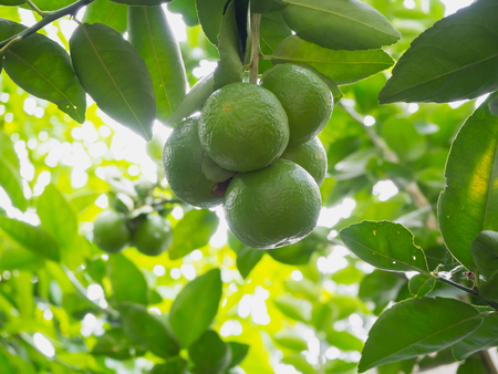 Close up limes hanging on tree Stock Photo