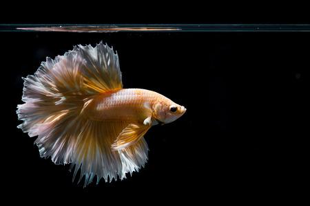 Pez Betta oro, pez luchador siamés sobre fondo negro Foto de archivo