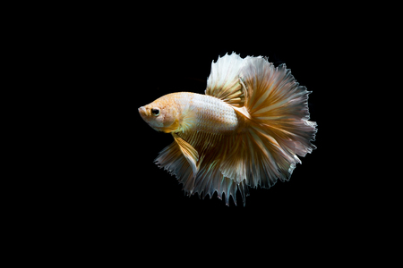 Gold betta fish, siamese fighting fish on black background isolated