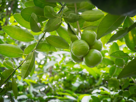 Close up limes hanging on tree Banque d'images