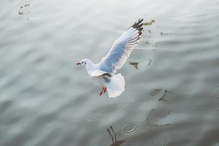 海の上を飛んで白いカモメ