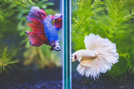 Close up of Fancy half moon Siamese fighting fishes quarreling