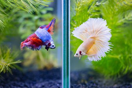 Nahaufnahme von Phantasie Halbmond Siamesische Kampf Fische streiten Standard-Bild - 91122808
