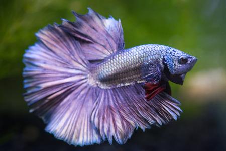 금속 betta 물고기, 샴 싸우는 물고기