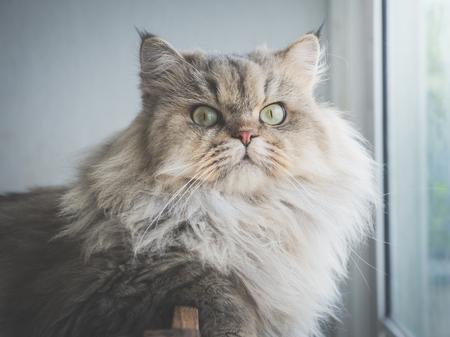Sluit omhoog van Perzische kat bekijkend camera onder zonlicht van een venster Stockfoto