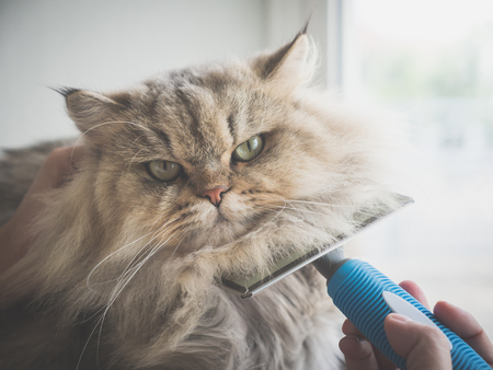 Asian woman using a comb brush the Persian cat 스톡 콘텐츠