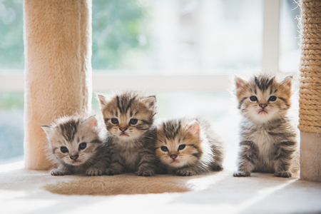 Group persian kittens sitting on cat tower Banque d'images