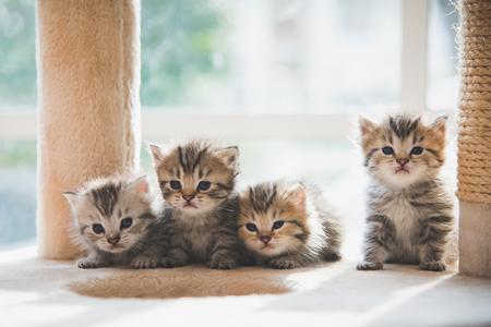 Group persian kittens sitting on cat tower Foto de archivo