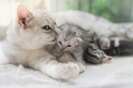 American shorthair cat hugging her kitten with love 写真素材