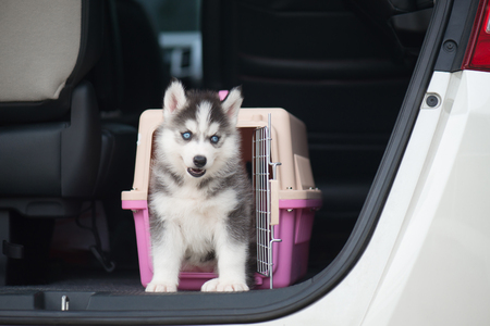 Cute siberian husky puppy  sitting in a travel box