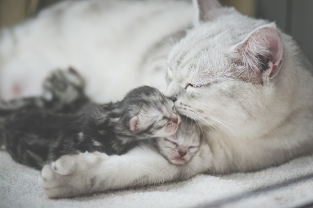 American shorthair cat kissing her kitten with love Banco de Imagens