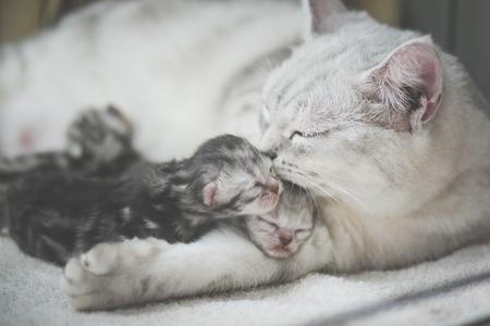 American shorthair cat kissing her kitten with love Stockfoto