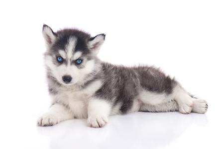 Blue eyes siberian husky puppy sitting on white background isolated
