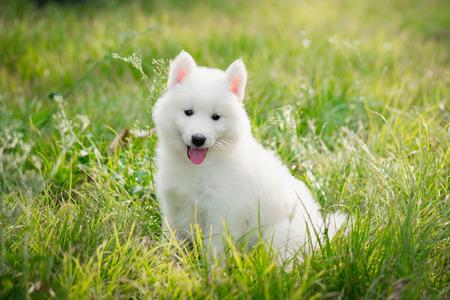 White siberian husky puppy on grass