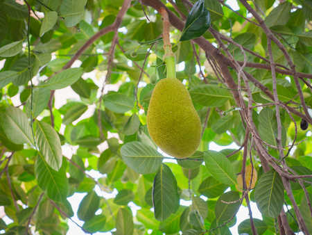 Close up of Young Jackfruit on the Tree