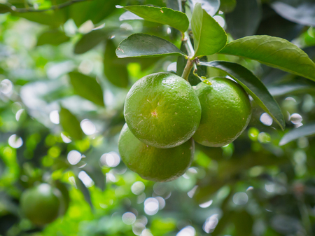 Close up limes hanging on tree 写真素材