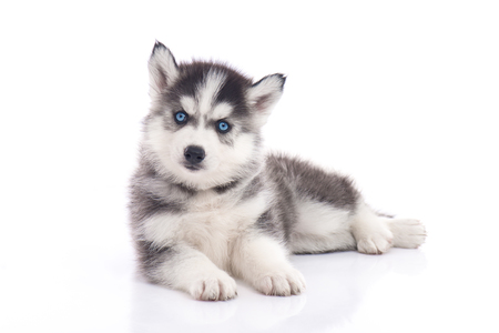 Blue eyes siberian husky puppy sitting on white background isolated