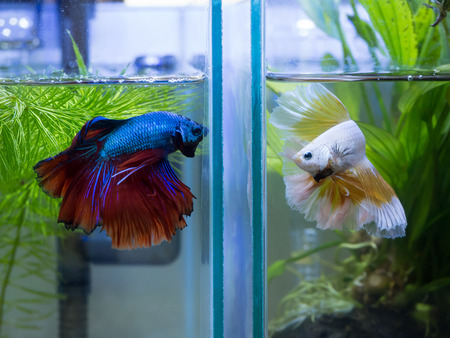 Close up of two half moon Siamese fighting fish in a fish tank Stock Photo