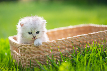 Cute kitten playing in wicker basket on green grass outdoors