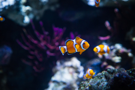 Close up of Clownfish In Marine Aquarium