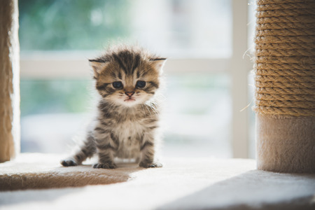 Cute persian kitten sitting on cat tower under sunlight