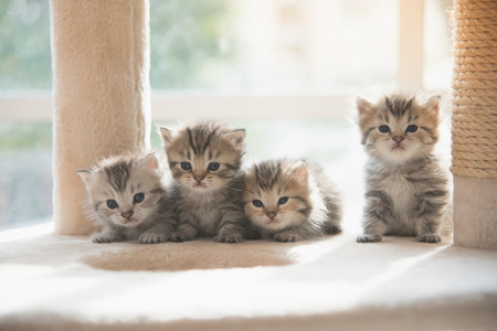 Group persian kittens sitting on cat tower Stockfoto