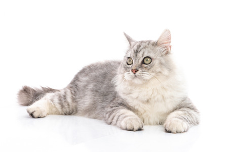 Persian cat on white background,isolated 版權商用圖片