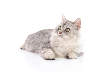 Gato persa sobre fondo blanco, aislado Foto de archivo