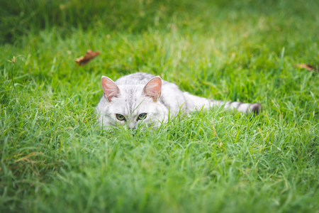 A cat hunting on green grass