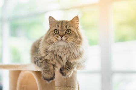 Nette Perserkatze, die auf Katzenturm sitzt